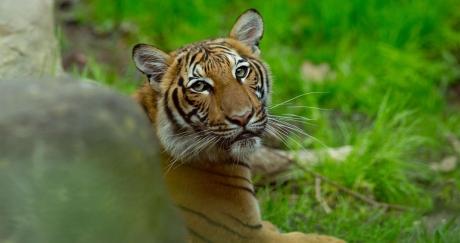 Một con hổ ở vườn thú Bronx, New York bị phát hiện dương tính Covid-19